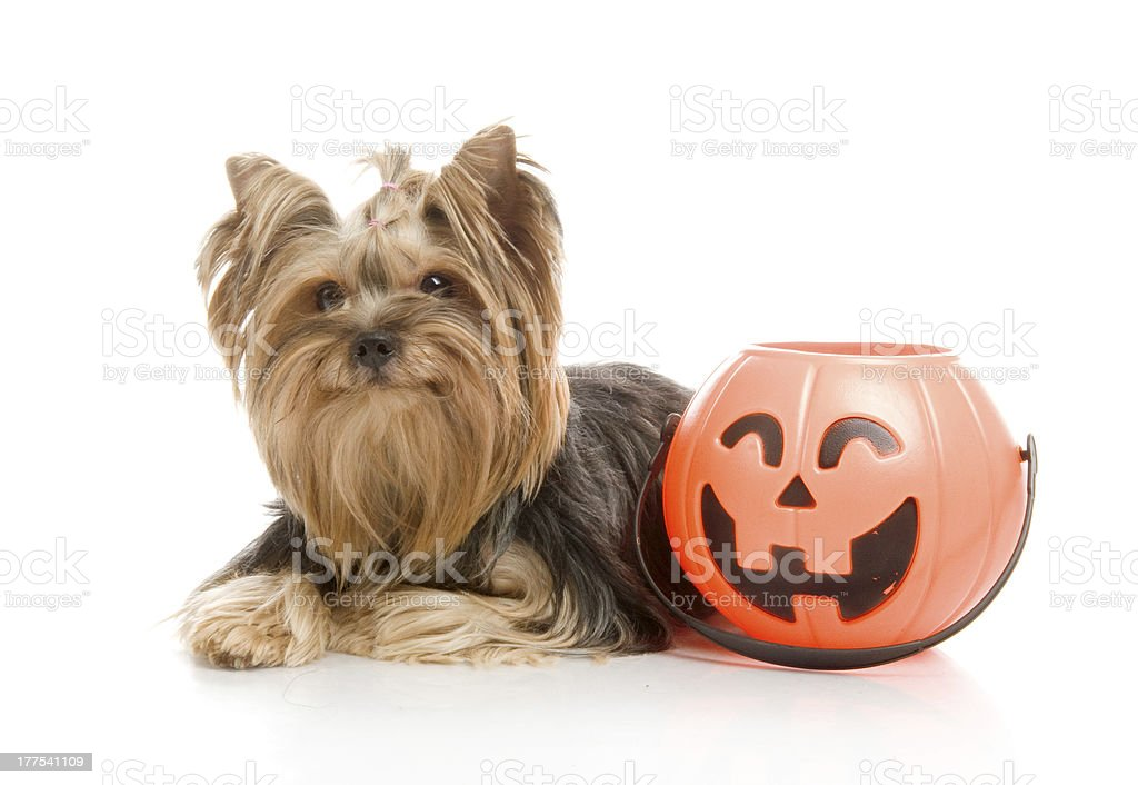 Yorkshire Terrier with halloween pumpkin, studio shot on white background royalty-free stock photo