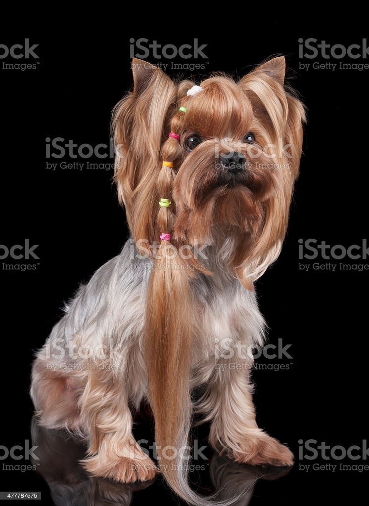 Yorkshire Terrier with long curl of hair royalty-free stock photo