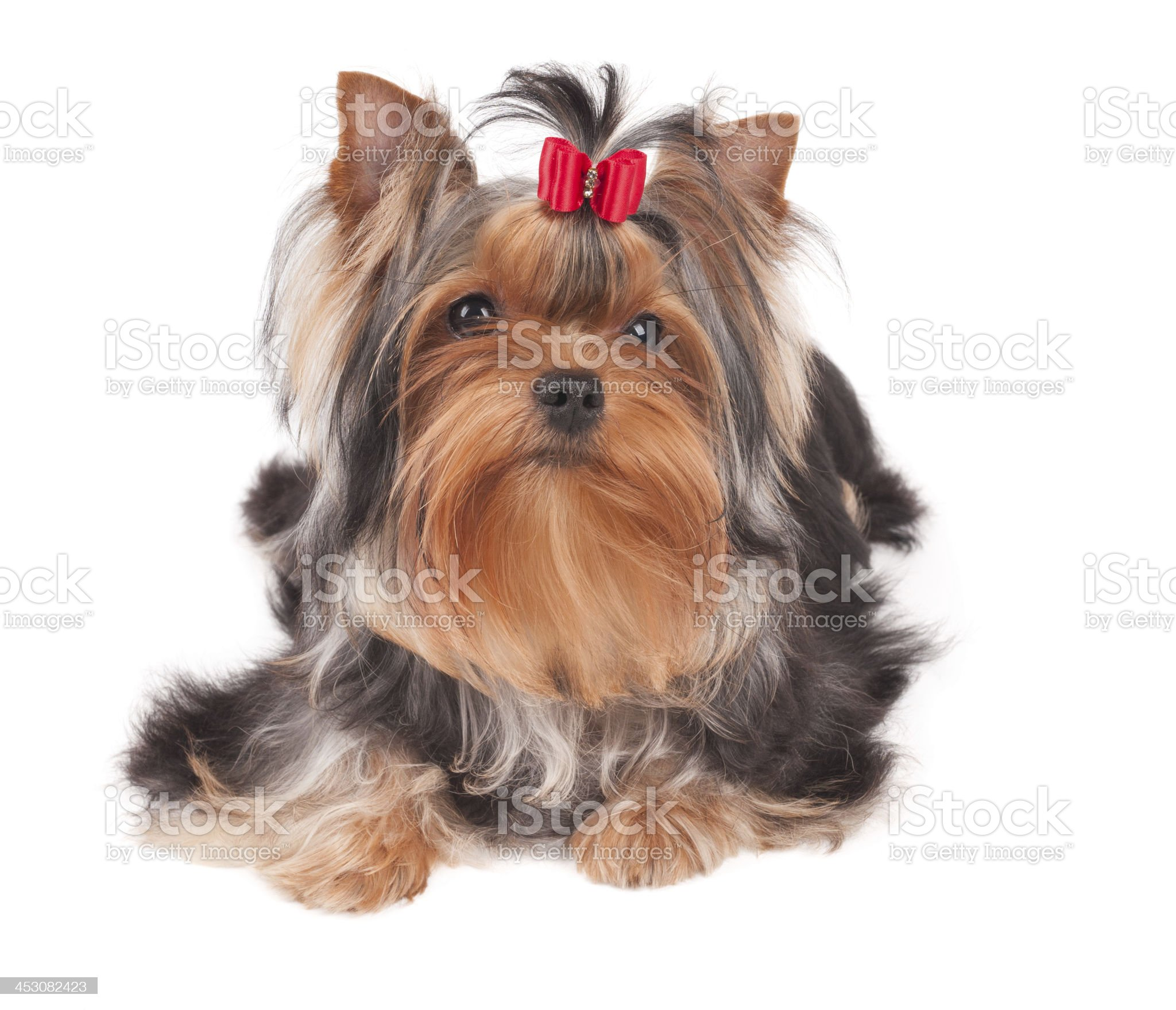 Yorkshire Terrier with red bow royalty-free stock photo