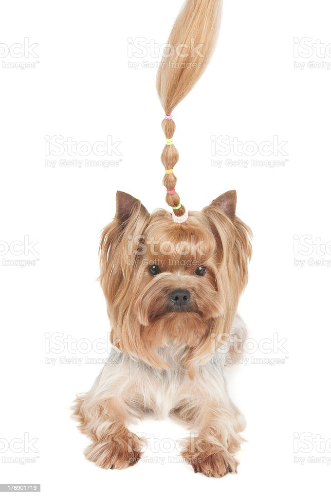 Yorkshire Terrier with upright curl royalty-free stock photo