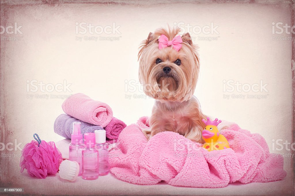 Yorkshire Terrier Wrapped in Pink Towel at the Grooming Salon stock photo