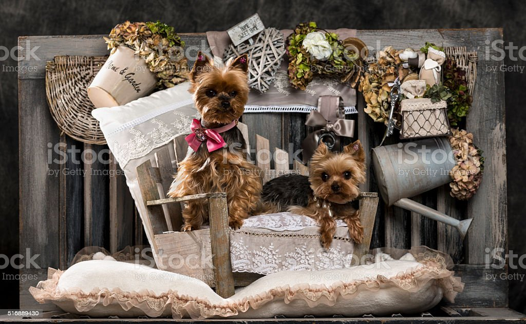 Yorkshire terriers in front of a rustic background stock photo