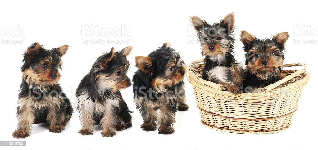 Yorkshire Terries puppies stock photo