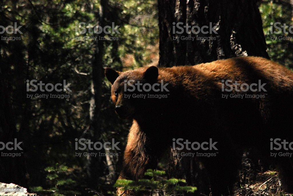 Yosemite Bear stock photo