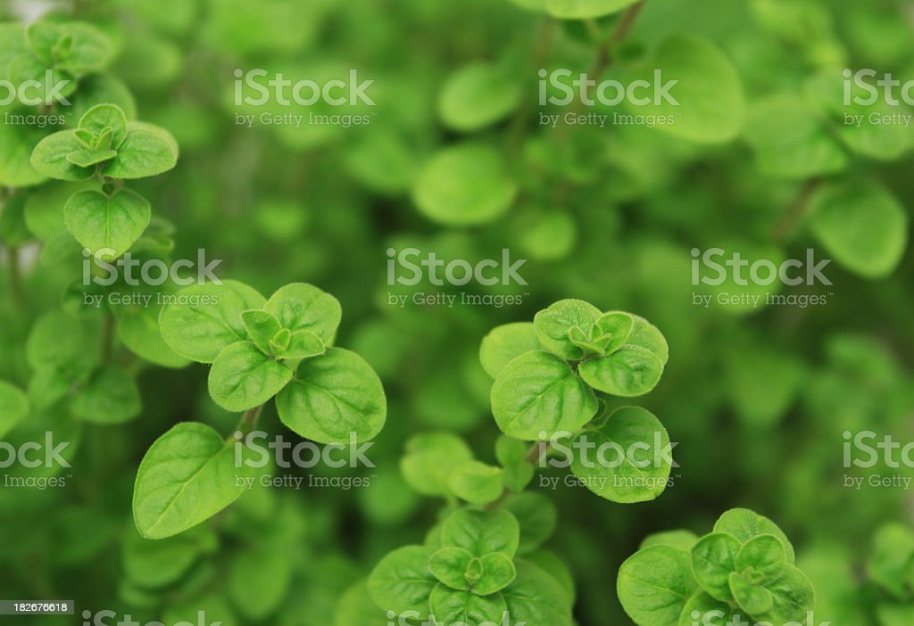 You can use fresh oregano to do a delicious cheese pizza  royalty-free stock photo