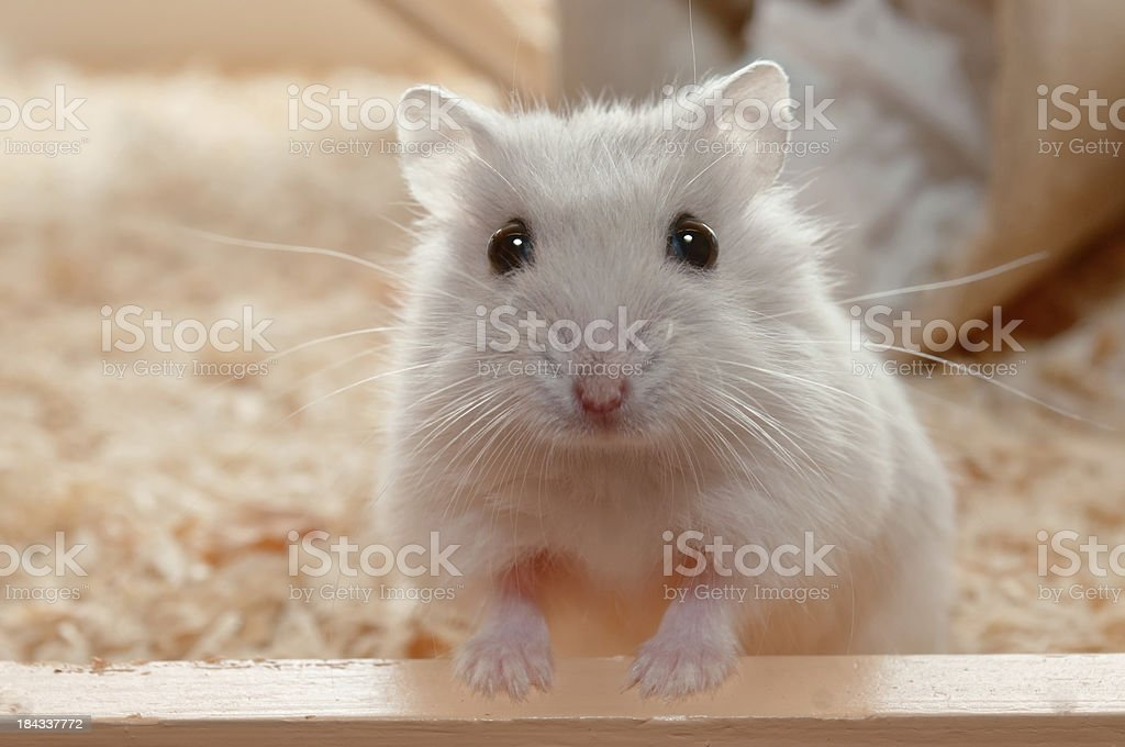 You have called me? Dwarf Hamster - 6 weeks old royalty-free stock photo