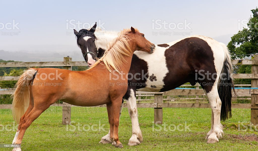 You scratch my back I'll do yours-horses grooming royalty-free stock photo
