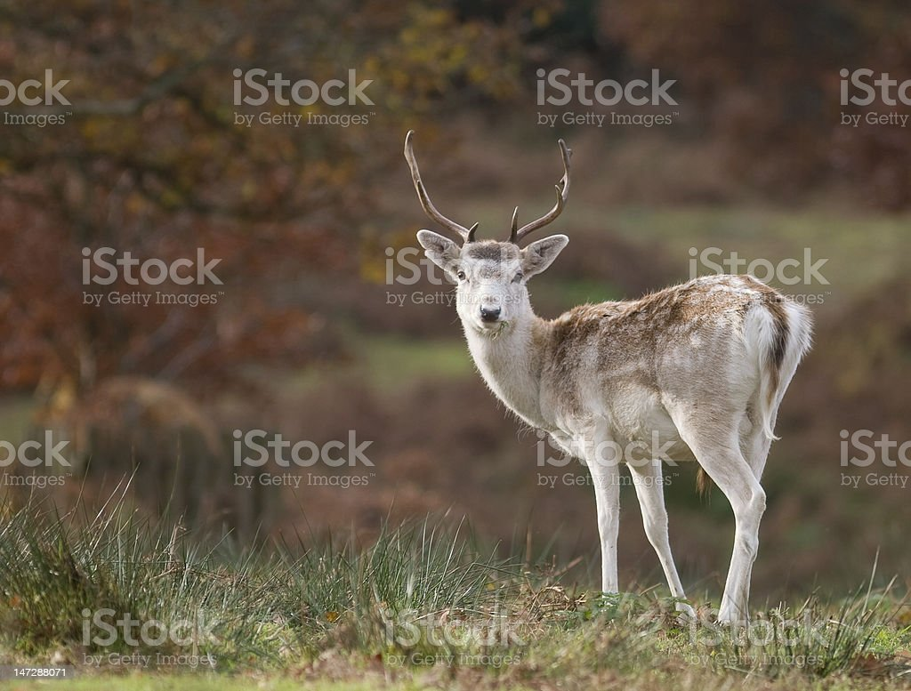 Yound Deer with Antlers stock photo