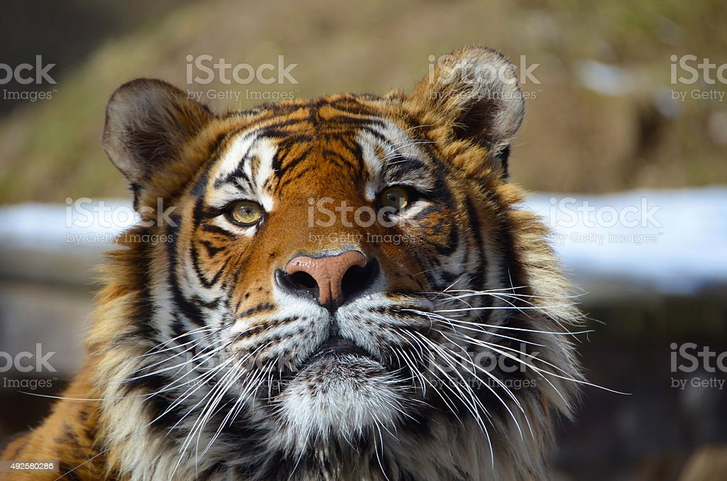 Young adult Bengal tiger male full face portrait royalty-free stock photo