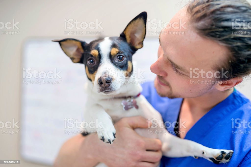 Young adult male veterinarian holding a small scared dog stock photo