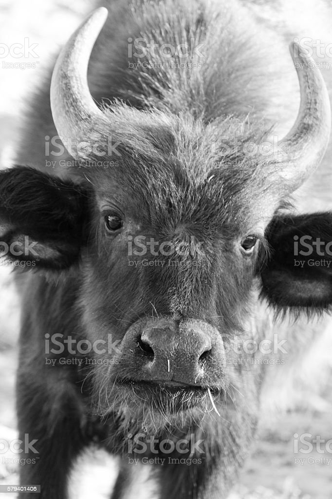 Young African buffalo looking at the cameral stock photo