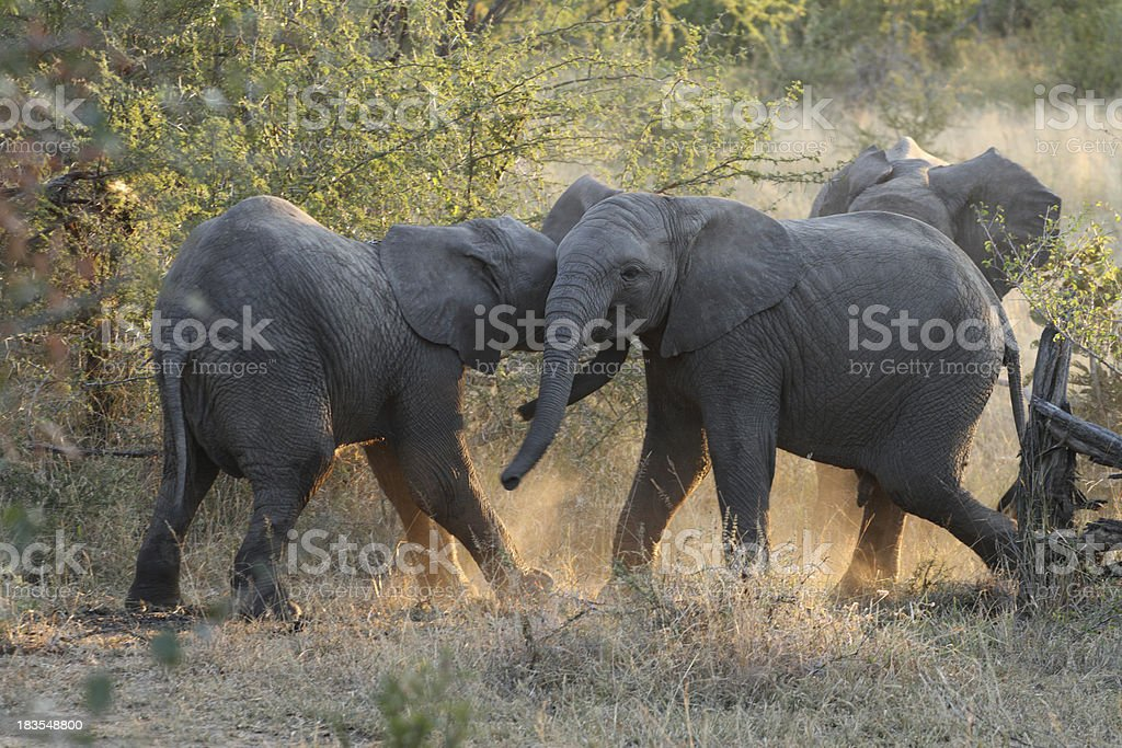Young african elephant calfs playing together in the wilderness stock photo