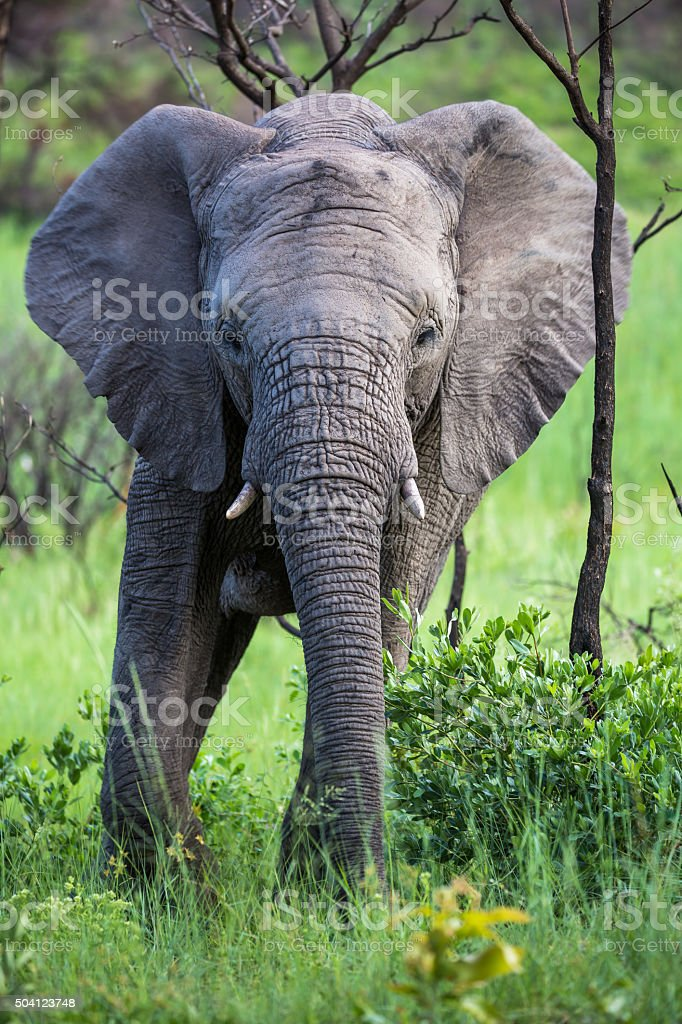 Young African elephant stock photo