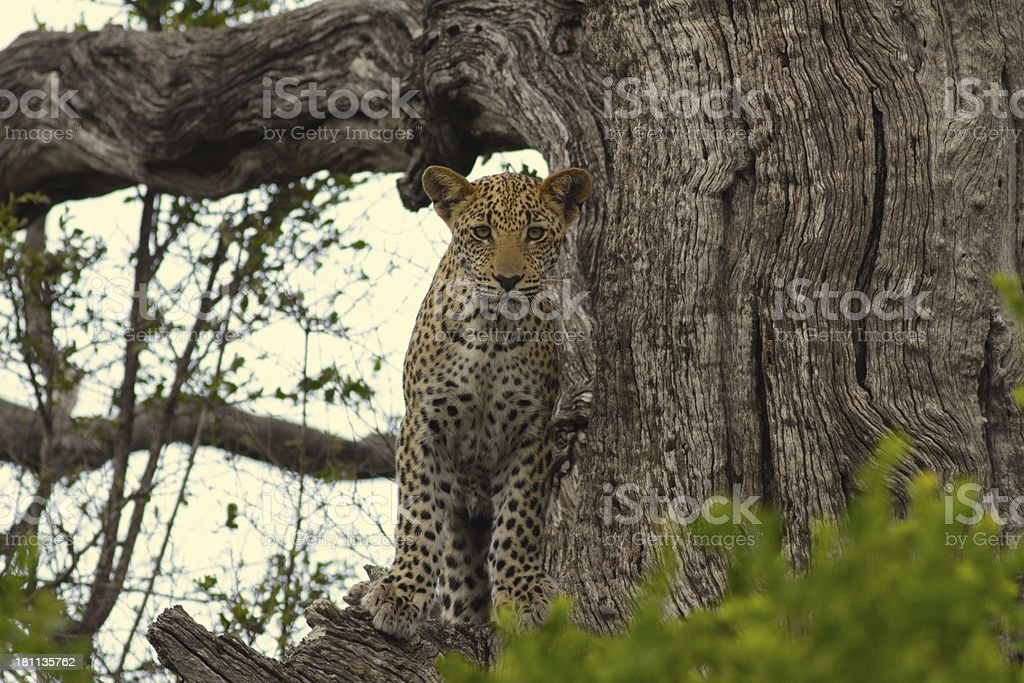 Young african leopard cub in tree facinf forwards towards camera royalty-free stock photo