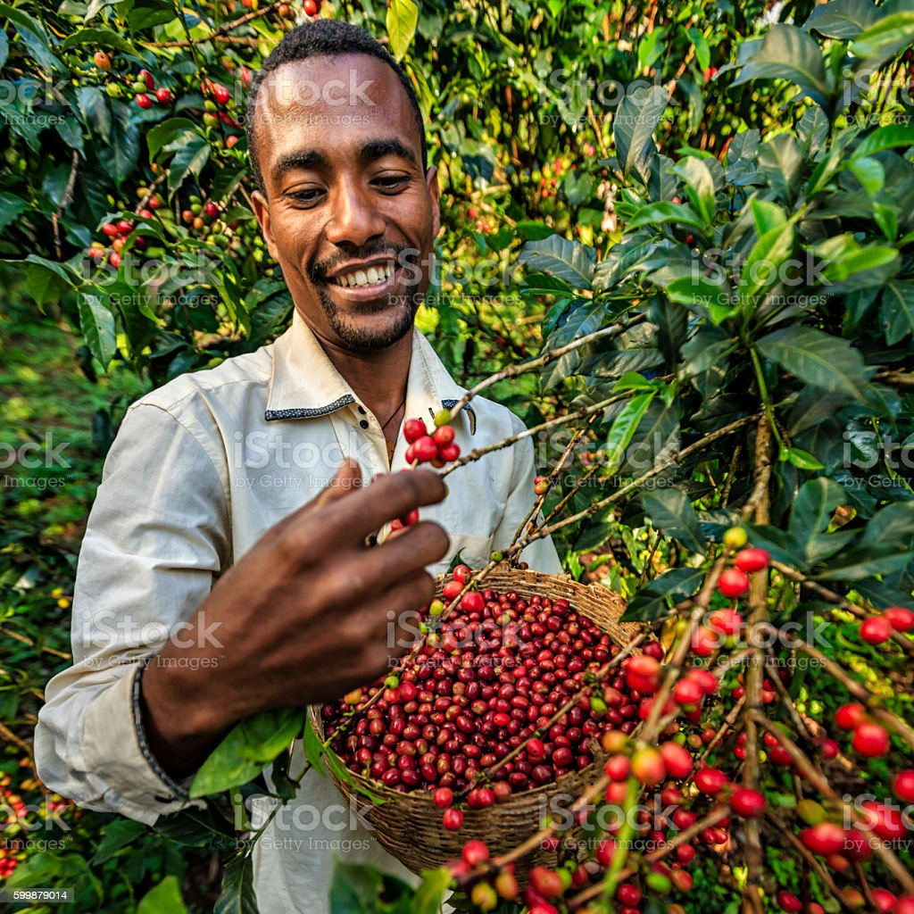 Young African man collecting coffee cherries, East Africa stock photo