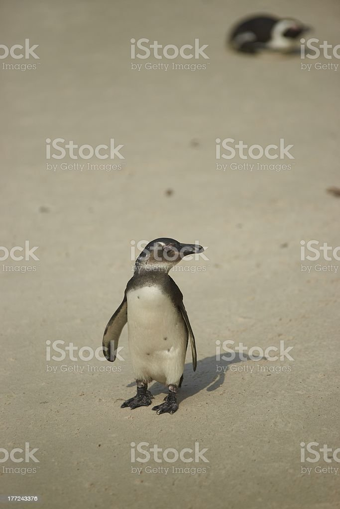 Young African Penguin royalty-free stock photo