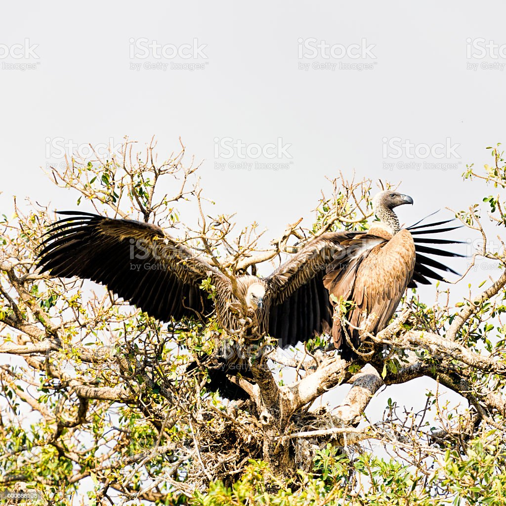 Young African white-backed Vulture - open wings stock photo