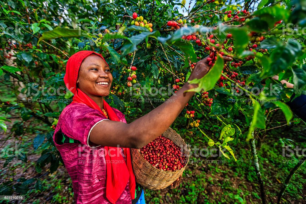 Young African woman collecting coffee cherries, East Africa stock photo