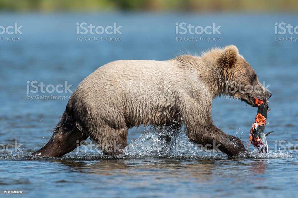 young Alaskan brown bear cub with salmon stock photo