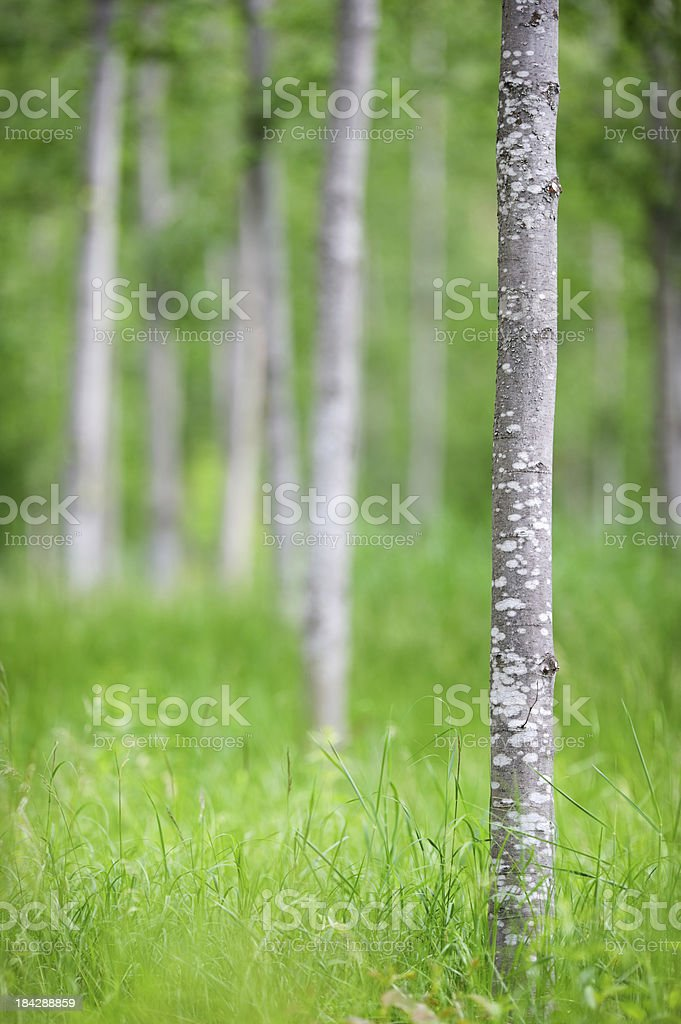 Young alder forest stock photo