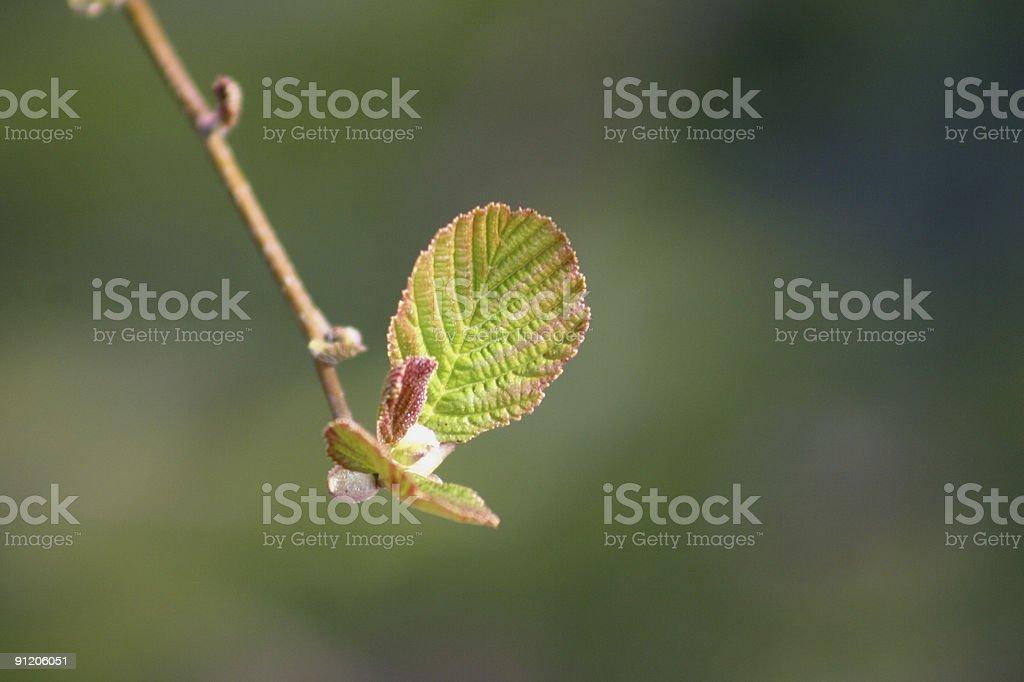 young alder leaf stock photo