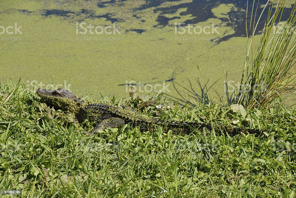 Young alligator sunbathes along a South Carolina river stock photo