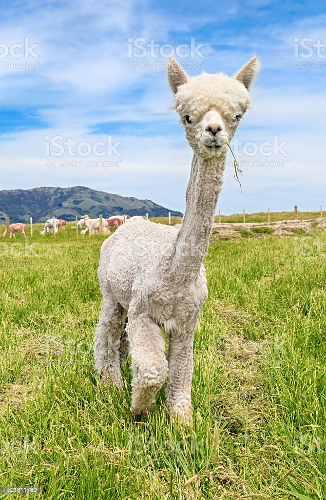 Young alpaca on pasture stock photo