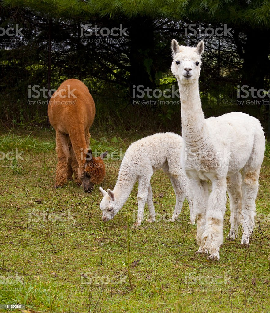 Young Alpacas Grazing in Pasture royalty-free stock photo