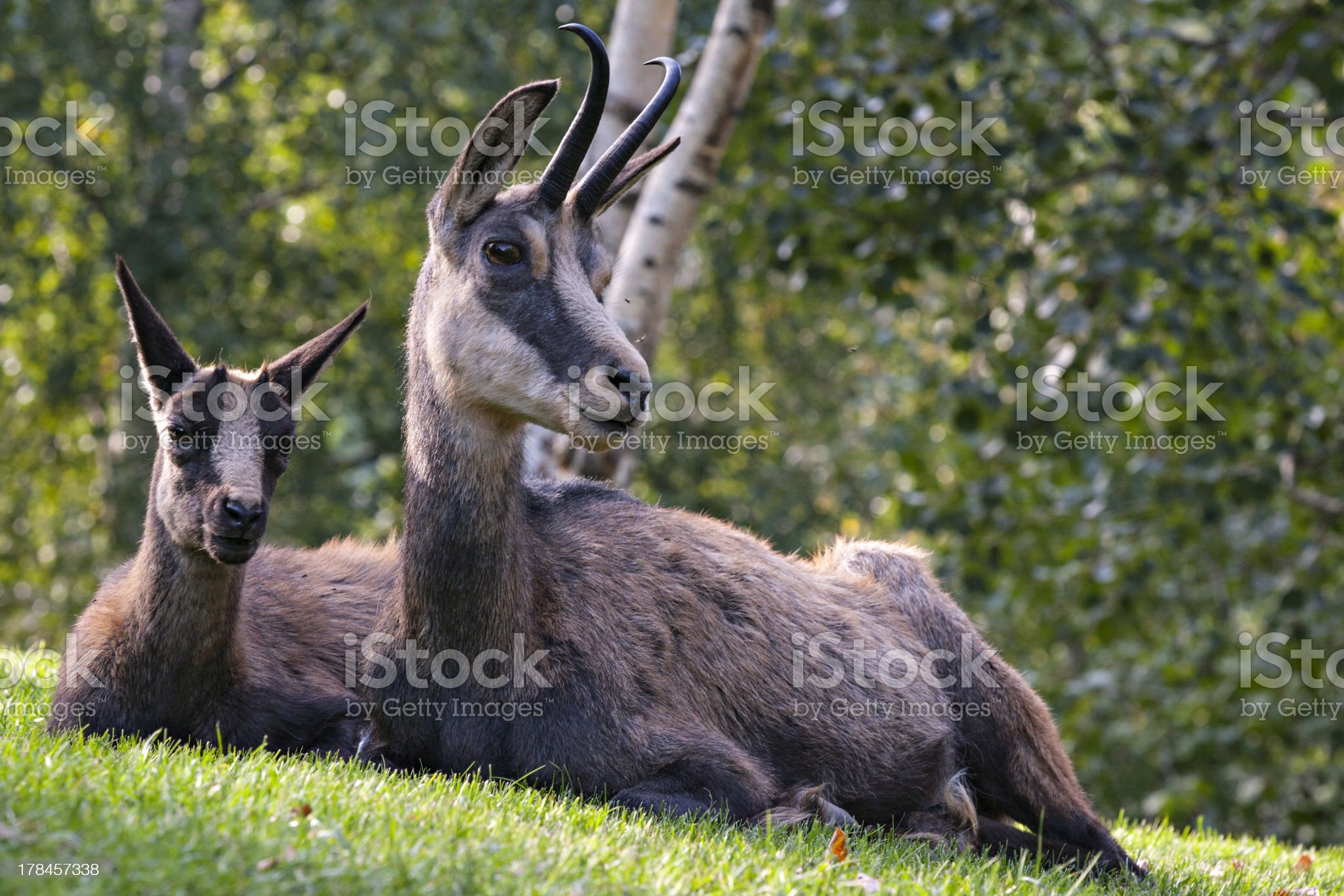 Young alpine chamois with its mother - Aosta Valley, Italy royalty-free stock photo