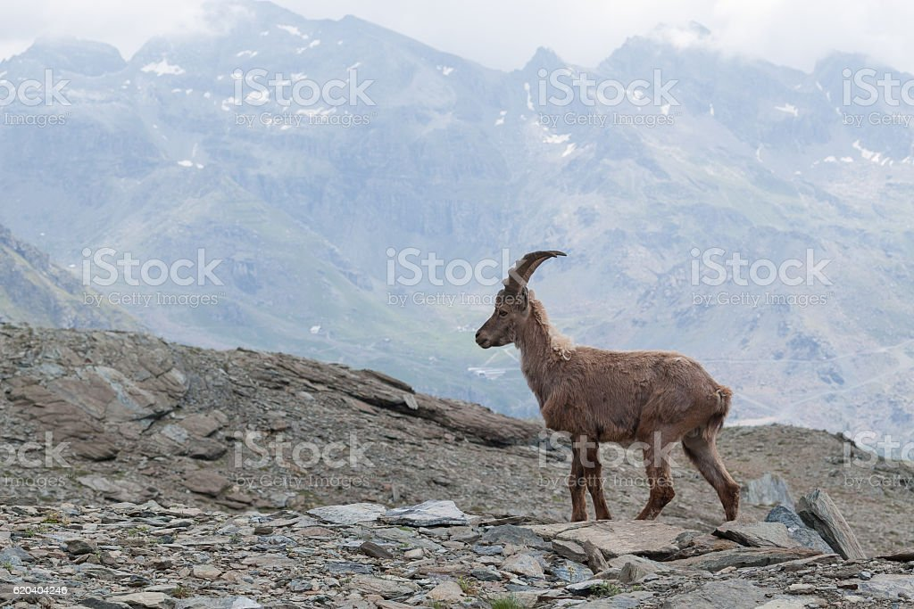 Young Alpine Ibex in Italian Alps stock photo