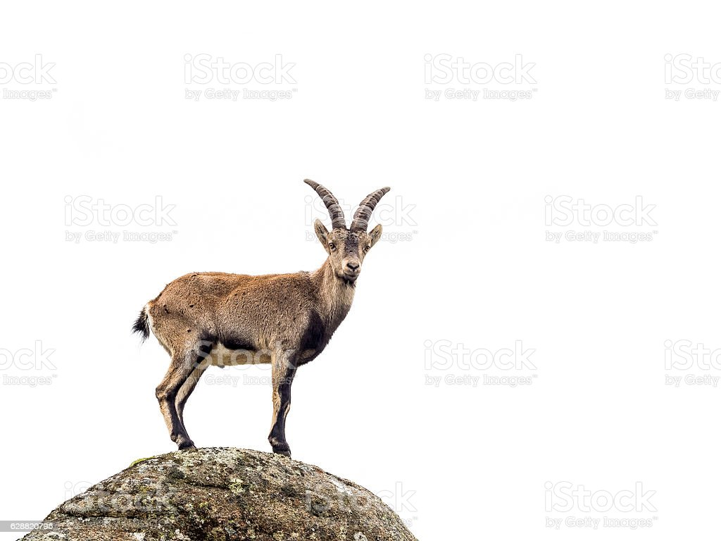 Young alpine ibex male isolated on white background stock photo