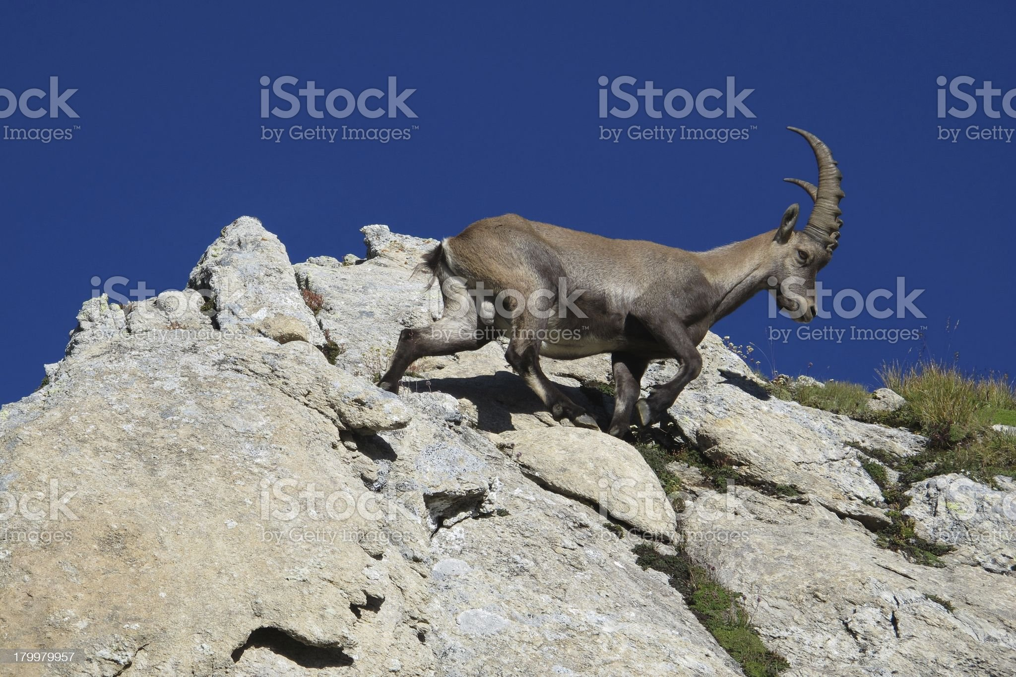 Young alpine ibex walking on a rock royalty-free stock photo