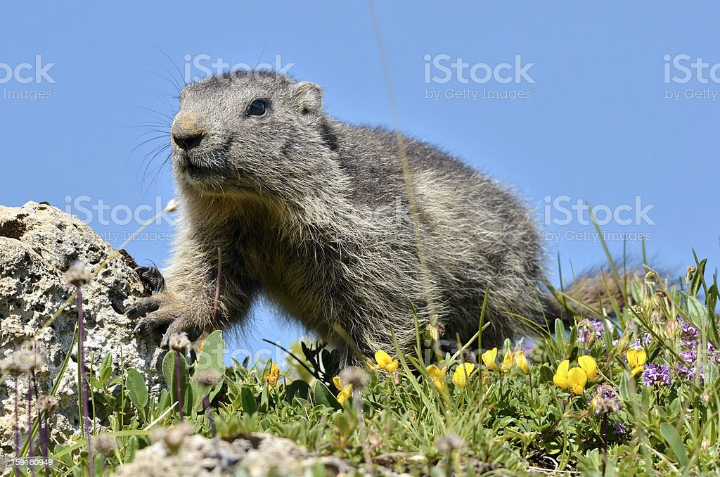 Young Alpine marmot royalty-free stock photo