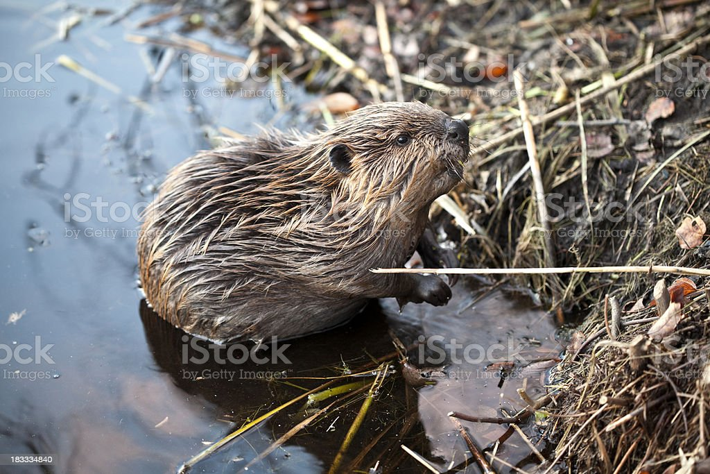 Young American Beaver at Base of Beaver Lodge stock photo