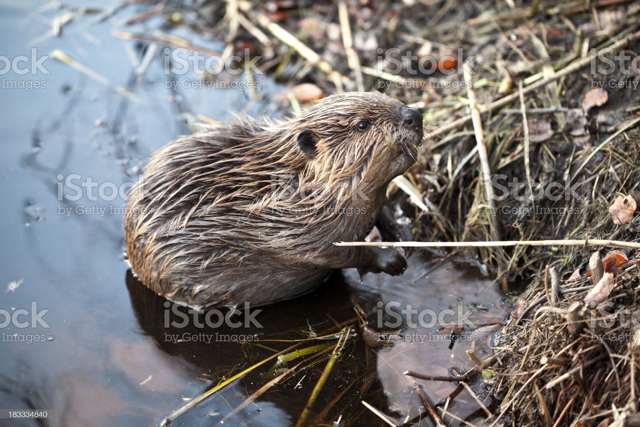 Young American Beaver at Base of Beaver Lodge royalty-free stock photo