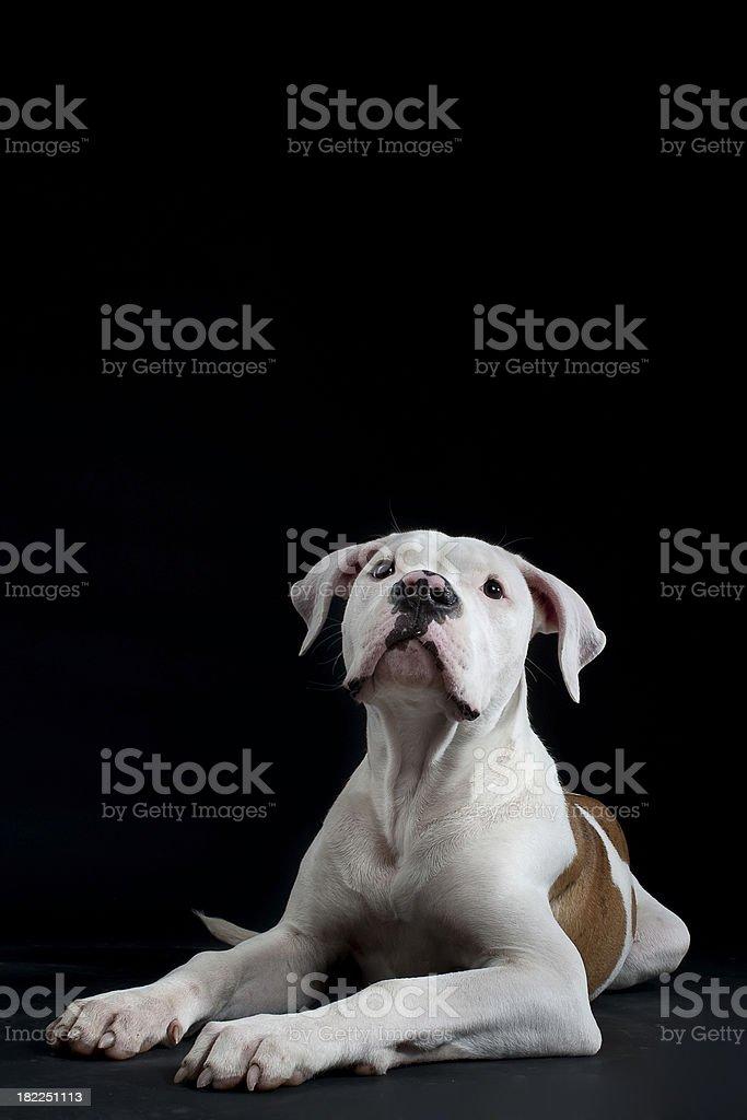 young american bulldog stock photo