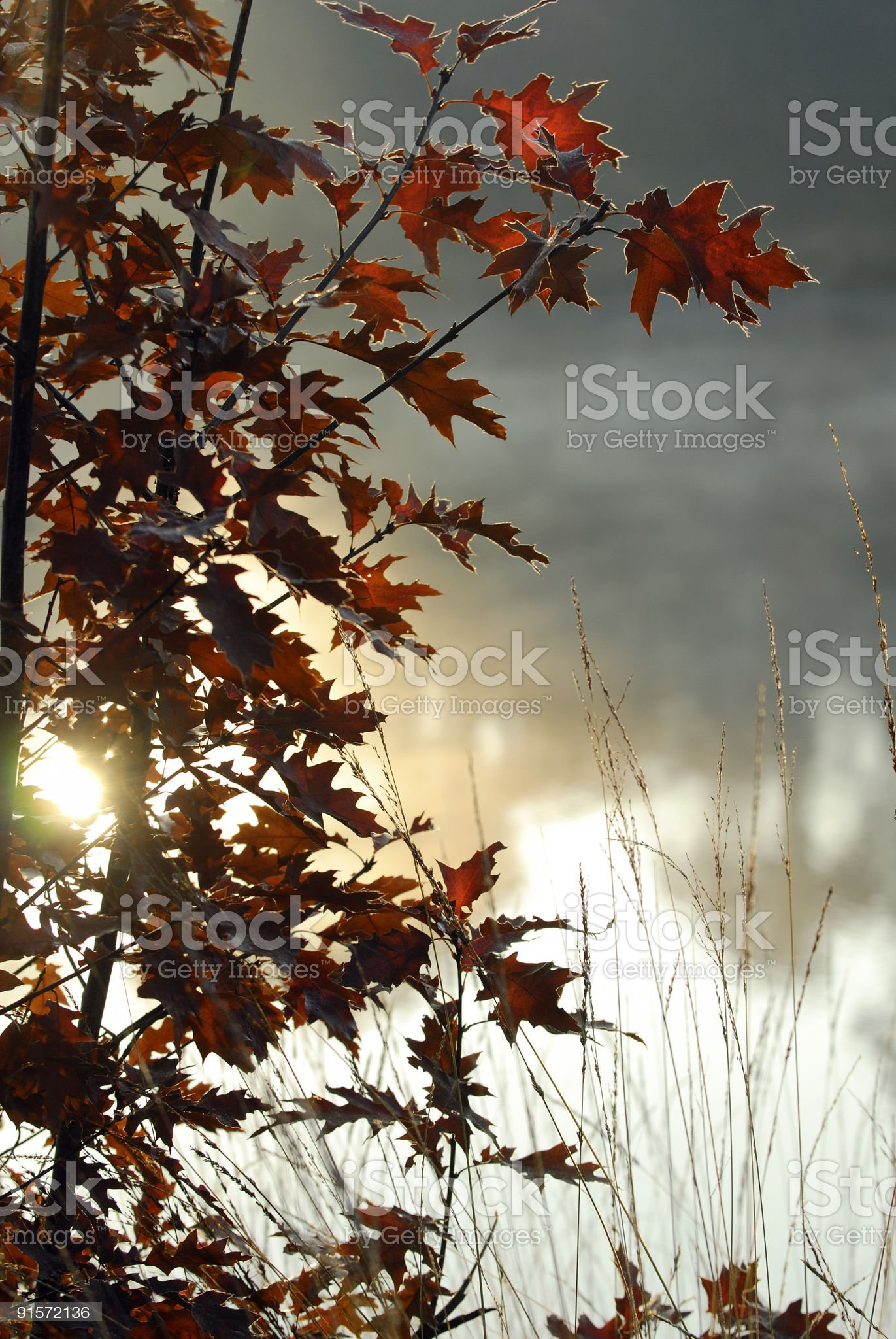 Young American oak in autumn. royalty-free stock photo