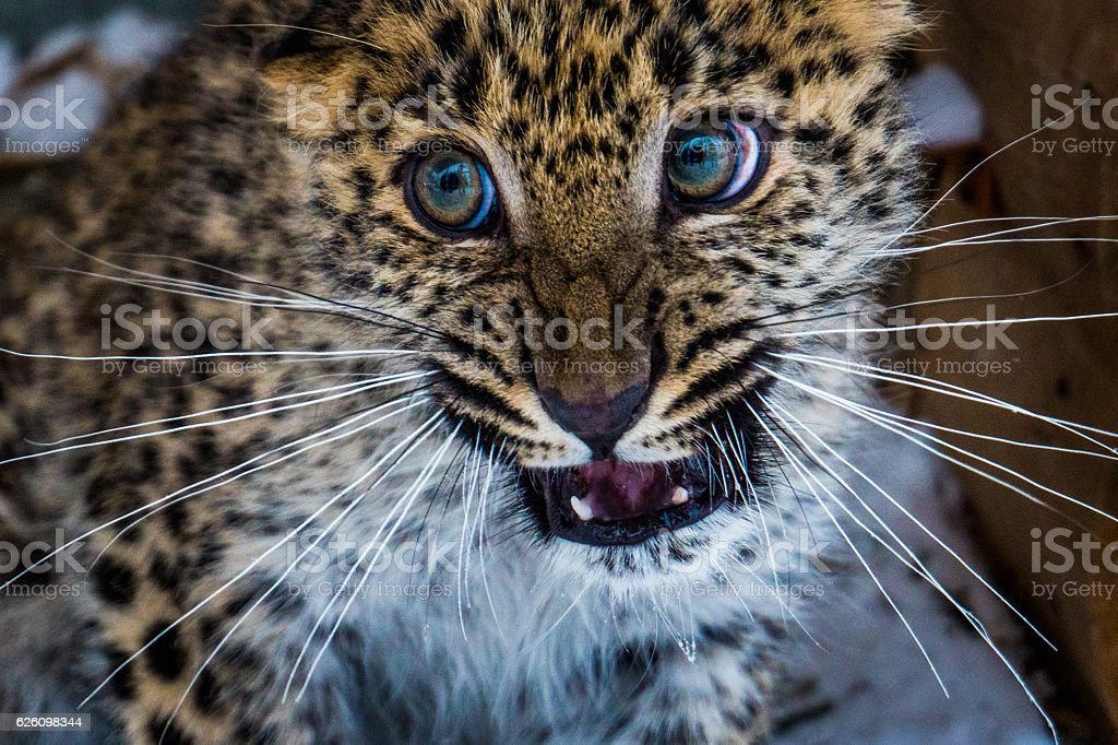 Young Amur Far-Eastern leopard stock photo