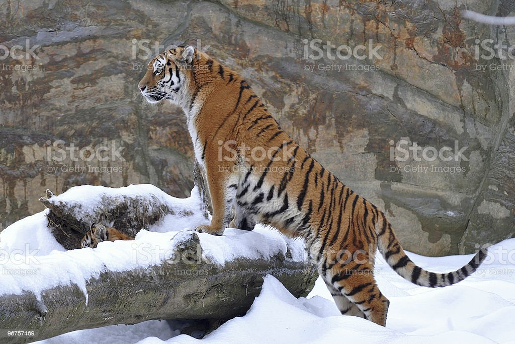 young amur tiger on snow stock photo