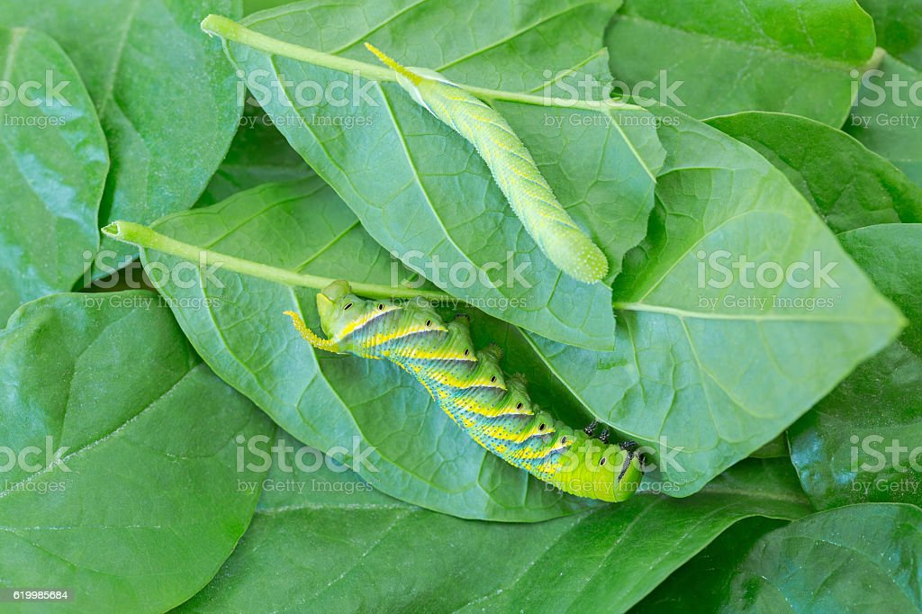 Young and adult green Caterpillar of death's head hawkmoth stock photo