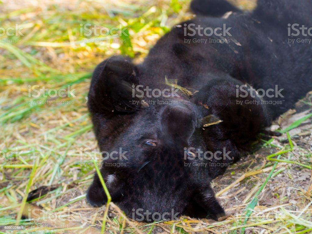 Young and black jaguar stock photo
