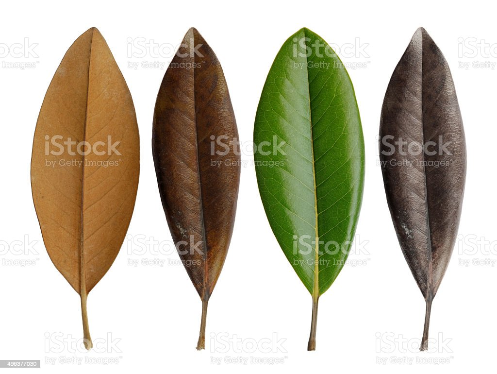 Young and old magnolia leaves stock photo