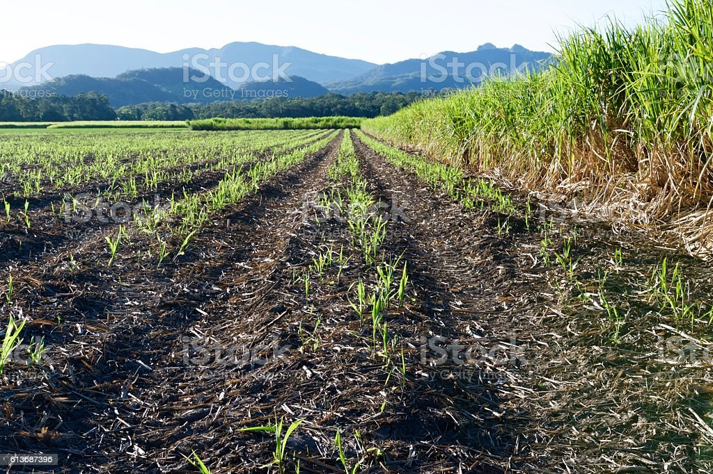 Young and old sugar cane stock photo