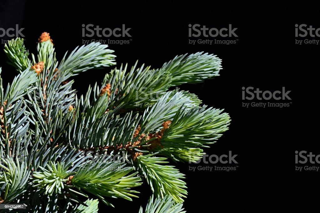 Young and older branches of coniferous tree Blue Spruce Picea Pungens on dark background stock photo