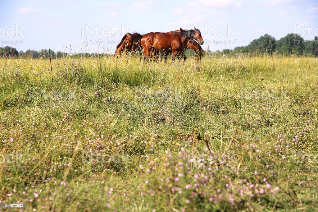 Young anglo arabian foals and mares grazing peaceful together at stock photo