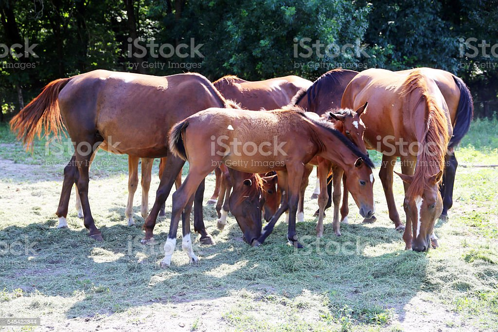 Young anglo arabian foals and mares grazing peaceful together on stock photo