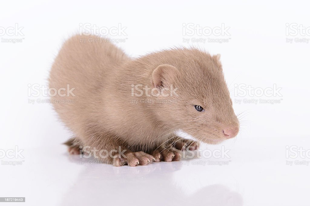 young animal mink royalty-free stock photo