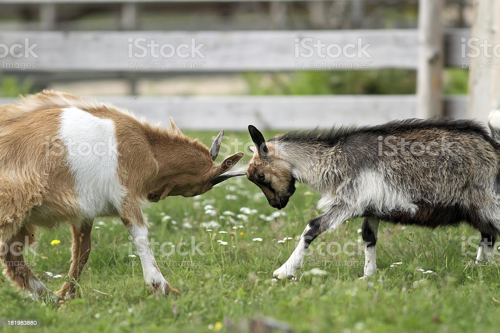 young animals fighting at the farm stock photo