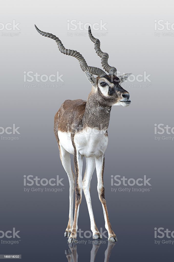 Young antelope isolated on reflect background royalty-free stock photo