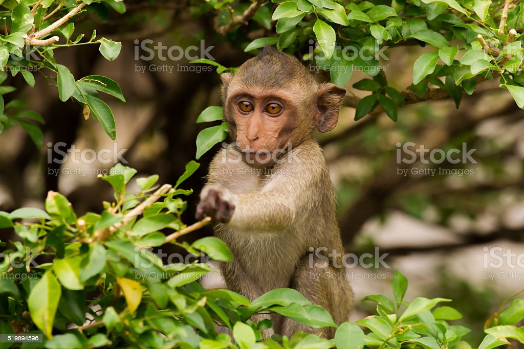 Young ape picking some food stock photo